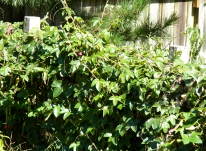 Passion Flower Vine Section