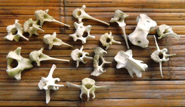 Goat Vertebrae - cleaned and partially whitened