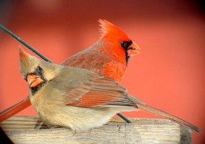 northern_cardinal_6